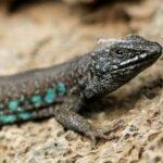 Fauna terrestre de Lanzarote: aves, reptiles y singulares endemismos